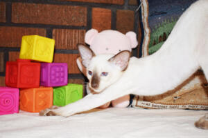 Siamese Cat for sale Theia 11 weeks (18)