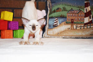 Siamese Cat for sale Theia 11 weeks (19)