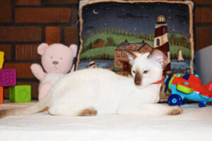Siamese Cat for sale Theia 11 weeks (21)