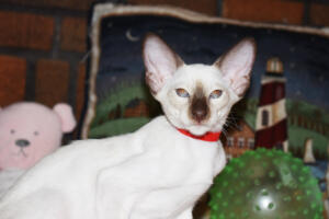 Siamese Cat for sale Theia 11 weeks (25)