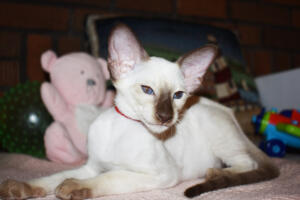 Siamese Cat for sale Theia 11 weeks (27)