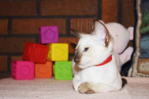 Siamese Cat for sale Theia 11 weeks (28)
