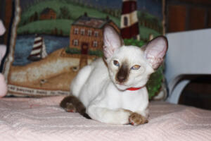Siamese Cat for sale Theia 11 weeks (29)