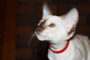 Siamese Cat for sale Theia 11 weeks (32)