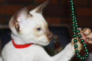 Siamese Cat for sale Theia 11 weeks (33)