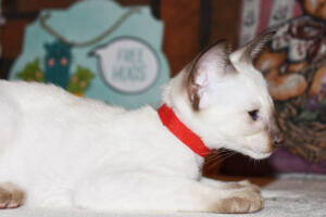 Siamese Cat for sale Theia 8 weeks (1)