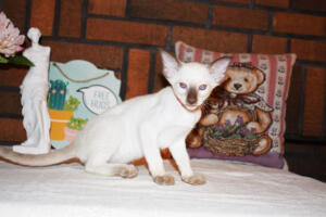 Siamese Cat for sale Theia 8 weeks (10)