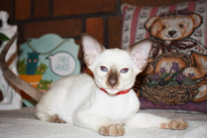 Siamese Cat for sale Theia 8 weeks (11)