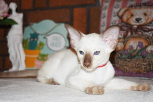 Siamese Cat for sale Theia 8 weeks (12) (1)