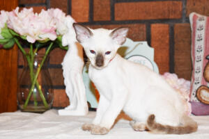 Siamese Cat for sale Theia 8 weeks (17)
