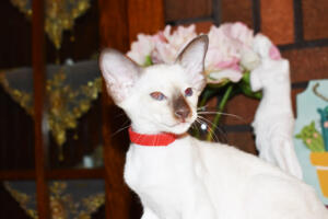 Siamese Cat for sale Theia 8 weeks (18)