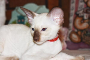 Siamese Cat for sale Theia 8 weeks (2)