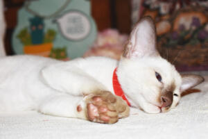 Siamese Cat for sale Theia 8 weeks (20)