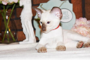 Siamese Cat for sale Theia 8 weeks (4)