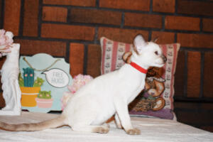 Siamese Cat for sale Theia 8 weeks (5)