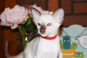 Siamese Cat for sale Theia 8 weeks (6)