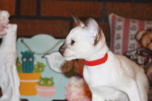 Siamese Cat for sale Theia 8 weeks (7)