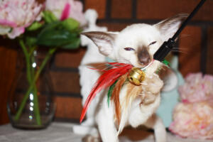 Siamese Cat for sale Theia 8 weeks (8)