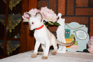 Siamese Cat for sale Theia 8 weeks (9)