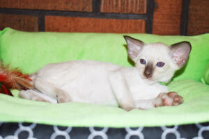 Siamese cat for sale from Oriental shorthair cattery