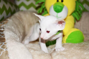 Siamese kitten for sale from Cataristocrat Scout 4weeks (1)