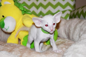 Siamese kitten for sale from Cataristocrat Scout 4weeks (10)