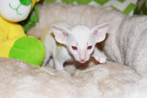 Siamese kitten for sale from Cataristocrat Scout 4weeks (5)