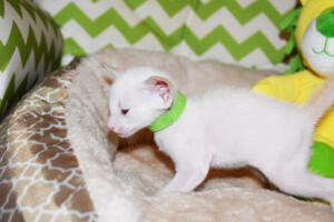 Siamese kitten for sale from Cataristocrat Scout 4weeks (8)