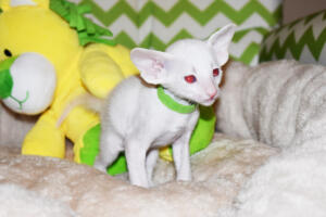 Siamese kitten for sale from Cataristocrat Scout 4weeks (9)