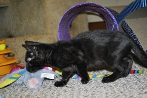 Siberia Black Melanistic Bengal kittens for adoption  from Cataristocrat Cattery