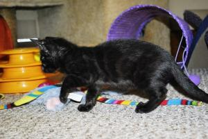 Siberia Black Melanistic Bengal cat for sale  from Cataristocrat Cattery