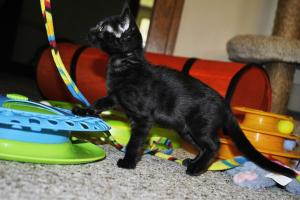 Siberia Black Melanistic Bengal kittens for sale  from Cataristocrat Cattery