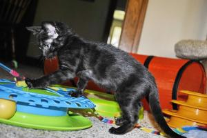 Siberia Black Melanistic Bengal cats for sale  from Cataristocrat Cattery