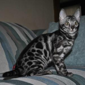 Silver Spotted Bengal cat for sale