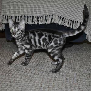 Bengal Cattery offers Bengal kitten