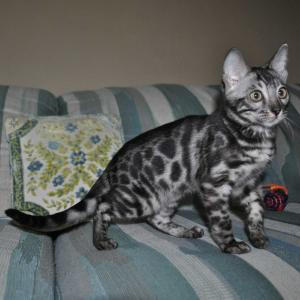 Silver Bengal kitten for sale