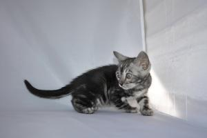 Silver Mist Bengal kittens for sale from our cattery