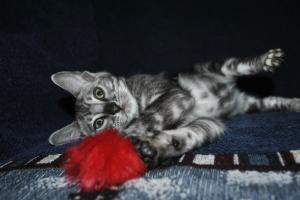 Silver Mist Bengal cats for adoption from Bengal cattery