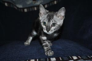 Silver Mist Bengal cats for sale from Bengal cattery
