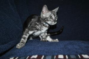 Bengal cat for sale from Bengal cattery