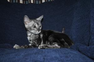 Silver Mist Wonderful Charcoal Bengal kitten for sale