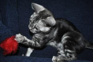 Silver Mist Wonderful Charcoal Bengal kittens for sale