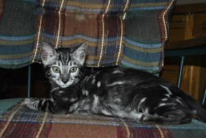 Wonderful Charcoal Bengal cats for sale