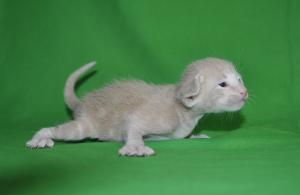 Pure Breed Oriental shorthair cat for sale. Creamy male kitten from Cataristocrat Cattery
