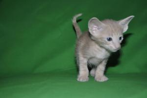 Oriental shorthair cats for adoption.