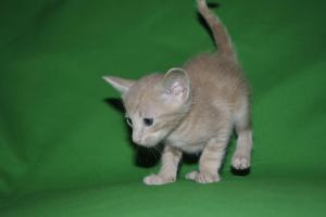 Pure Breed Oriental shorthair cat for sale.
