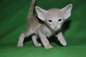 Oriental shorthair cats for sale.