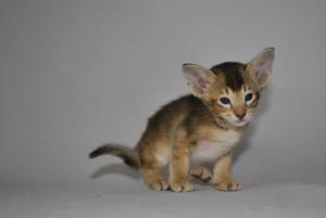 Oriental shorthair kittens for sale from Cataristocrat Cattery