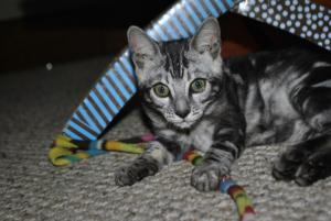 Bengal cats for sale from our Cattery