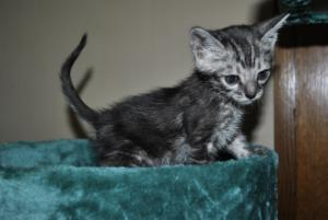 Zephyr Bengal kitten for sale from our Cattery